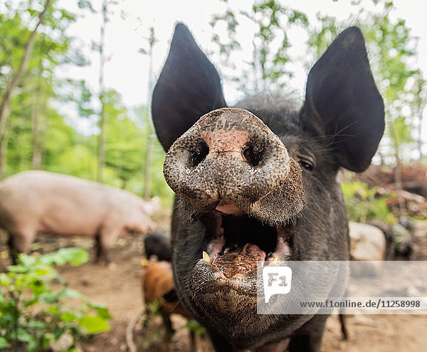 USA  Maine  Knox  Close-up view of pig with open mouth