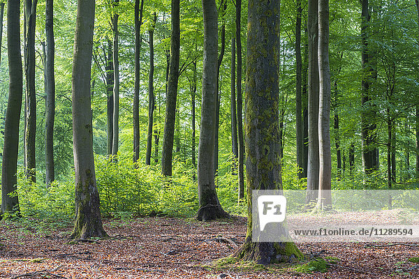 Beech Forest in Spring  Weibersbrunn  Spessart  Bavaria  Germany