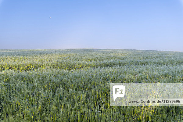 Barley Field in Sspring  Vielbrunn  Odenwald  Hesse  Germany
