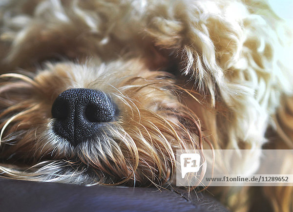 Close up of nose of a mixed breed  snoozing puppy Close up of nose of a mixed breed, snoozing puppy