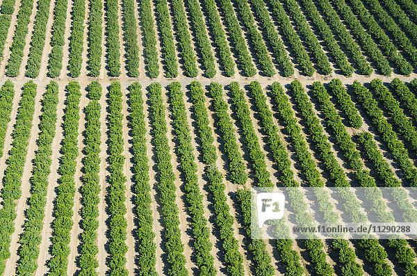 Peru  Nazca  Ariel Blick auf reihenweise wachsende Bäume