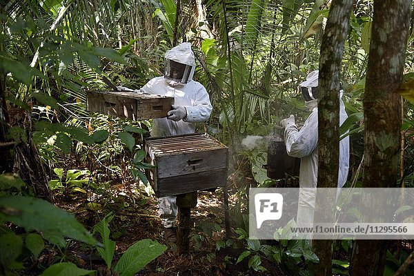 Two beekeepers with beehives in the Amazon rainforest  honeybee (Apis mellifera)  Asentamento Areia  Trairão District  Pará  Brazil  South America