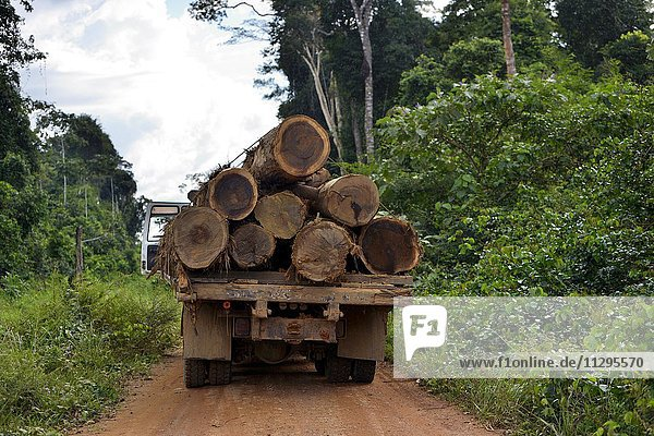 Trucks loaded with tree trunks  illegal logging  Amazon rainforest timber  Trairão District  Pará  Brazil  South America