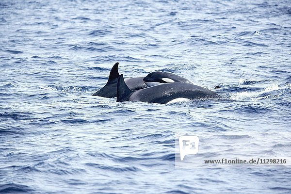 Killer Whales (Orcinus orca) with young animal swimming together  Strait of Gibraltar  Costa de La Luz  Andalucia  Spain  Europe