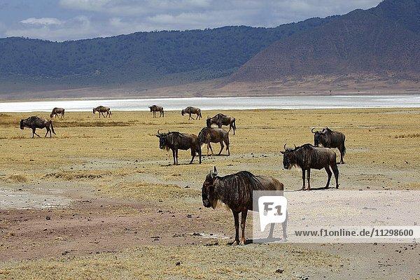 Herde Gnus  Weißbartgnus (Connochaetes mearnsi)  Ngorongoro Krater  Serengeti Nationalpark  Tansania  Afrika