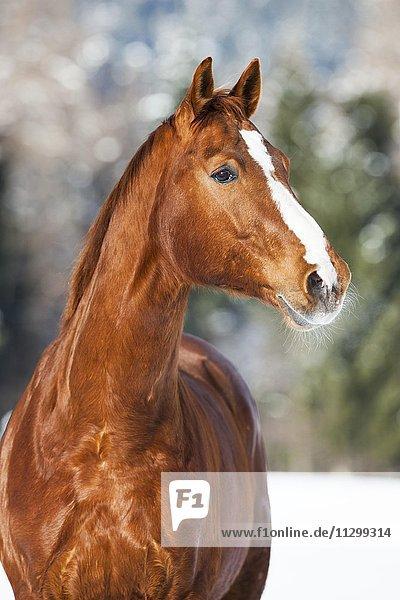 Hannoveraner Pferd  Fuchs  braun rötliches Fell  Portrait im Schnee  Tirol  Österreich  Europa