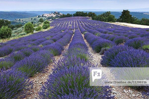 Blühendes Lavendelfeld (Lavandula angustifolia)  hinten Dorf Entrevennes  Département Alpes-de-Haute-Provence  Region Provence-Alpes-Côte d?Azur  Frankreich  Europa