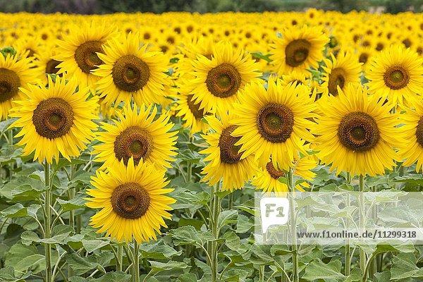 Blühendes Sonnenblumenfeld (Helianthus)  Plateau de Valensole  Region Provence-Alpes-Côte d?Azur  Frankreich  Europa