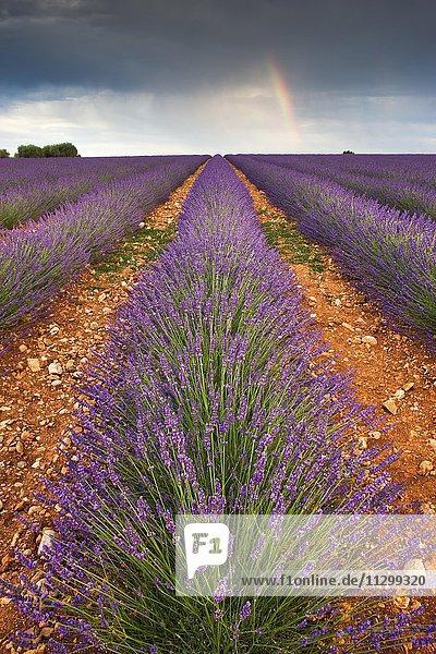 Blooming lavender (Lavandula angustifolia) field  rainbow  Plateau de Valensole  Alpes-de-Haute-Provence  Provence-Alpes-Côte d'Azur  France  Europe