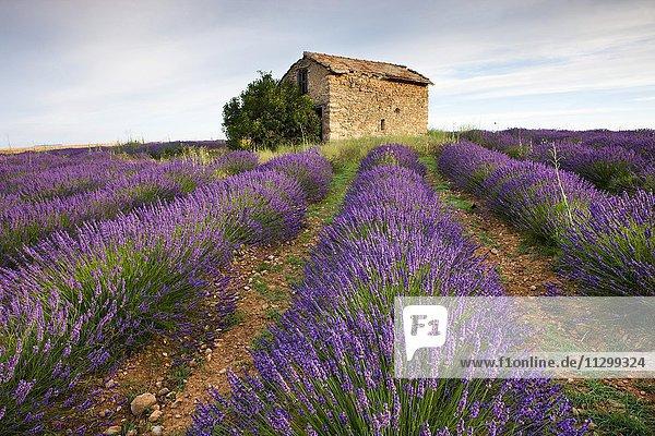 Blühendes Lavendelfeld (Lavandula angustifolia) mit Steinhaus am Plateau de Valensole  Département Alpes-de-Haute-Provence  Region Provence-Alpes-Côte d?Azur  Frankreich  Europa