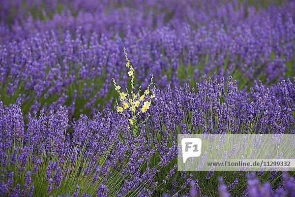Blooming lavender (Lavandula angustifolia) field  Plateau de Valensole  Alpes-de-Haute-Provence  Provence-Alpes-Côte d'Azur  France  Europe