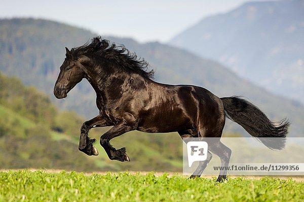 Friesian galloping  summer  Austria  Europe