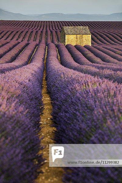Blühendes Lavendelfeld (Lavandula angustifolia) mit Steinhütte  Plateau de Valensole  Département Alpes-de-Haute-Provence  Region Provence-Alpes-Côte d?Azur  Frankreich  Europa