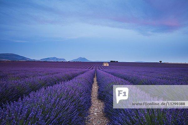 Blooming lavender (Lavandula angustifolia) with stone cottage  Valensole Plateau  Alpes-de-Haute-Provence  Provence-Alpes-Côte d'Azur  France  Europe