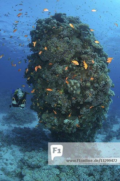 Männlicher Taucher mit einem Fischschwarm aus Juwelen-Fahnenbarschen (Pseudanthias squamipinnis)  bei einer Korallenriffsäule  Al-Qusayr  Rotes Meer  Ägypten  Afrika
