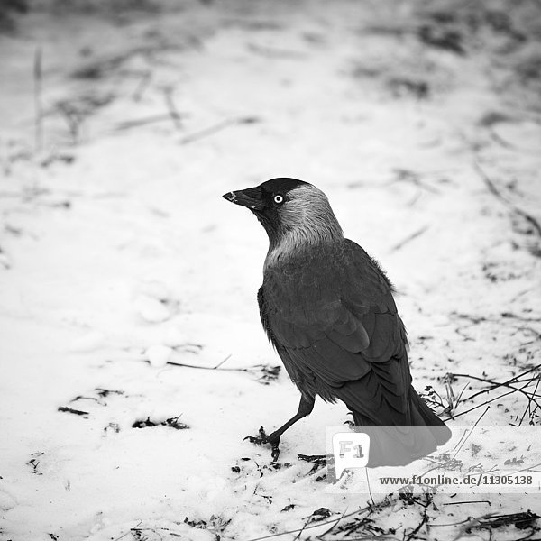 Jackdaw on snow