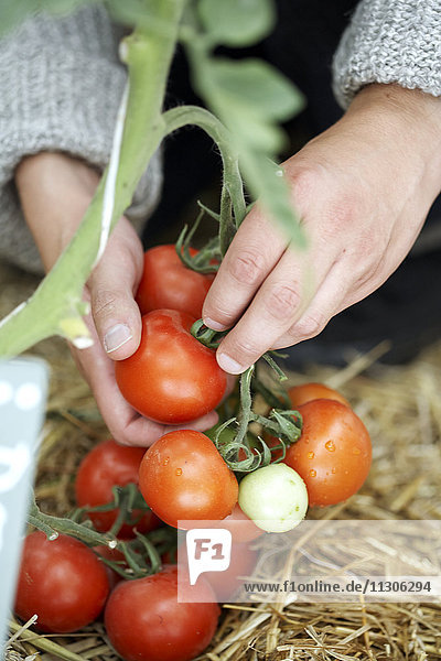 Woman picking tomatoes  close-up