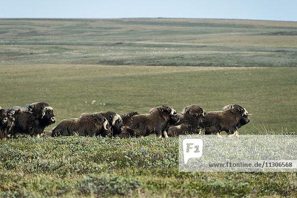 muskox  Ovibos moschatus  national petroleum reserve  northwest Alaska
