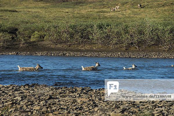 swimming the kokolik river  western arctic caribou  caribou  rangifer tarandus  reindeer  herd  national petroleum reserve  northwest Alaska