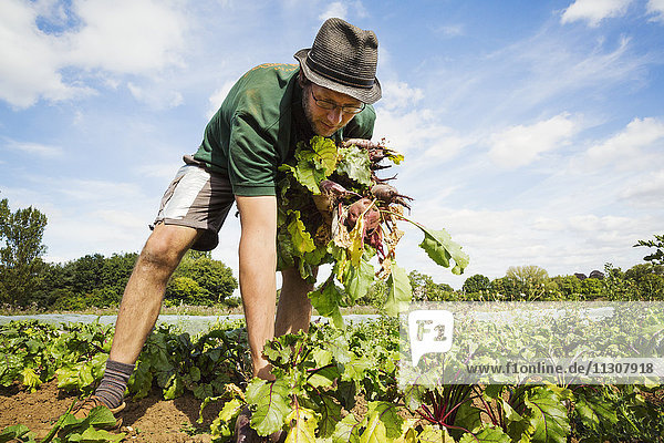 A man working in the field  pulling glossy red beetroots up.
