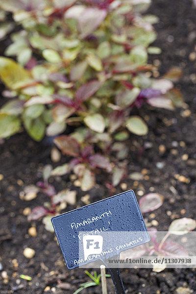 Kleine Pflanzen mit roten und grünen Blättern  die in der Erde eines Gemüsegartens wachsen.