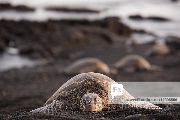Big Island  tortoise  Punaluu  Black sand Beach  Big Island  USA  Hawaii  America  animals  animal  Volcanical  lava