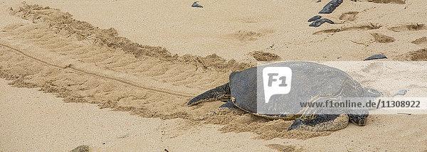Maui  tortoise  beach  seashore  Paia  USA  Hawaii  America  animals  animal