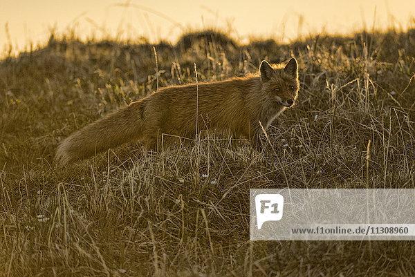 red fox  vulpes vulpes  national petroleum reserve  Alaska  USA  fox  animal