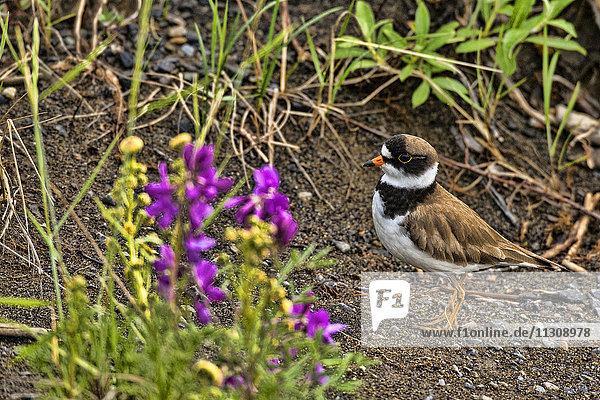 semipalmated plover  plover  Charadrius semipalmatus  bird  Alaska  USA
