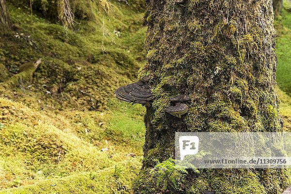 shelf fungus  bracket fungus  fungus  tree  glacier bay  Alaska  USA