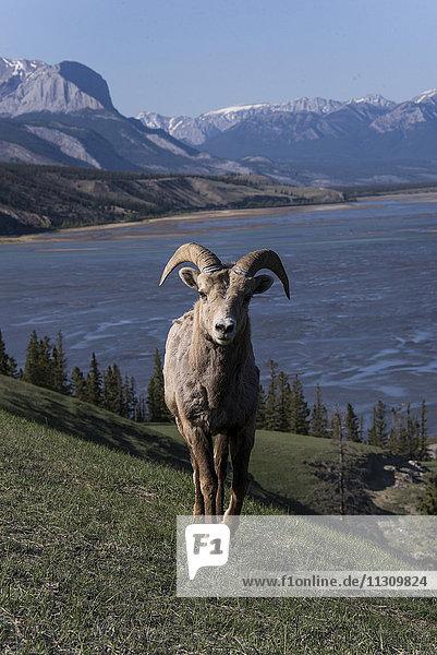 bighorn sheep  ovis canadensis  Alberta  Canada  animal