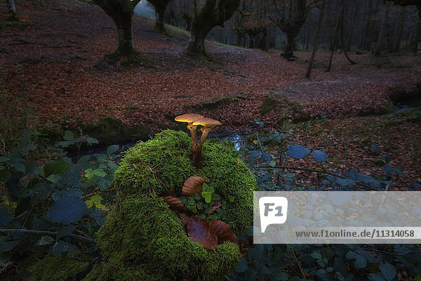 Spanien  Baskenland  Naturpark Gorbea  Pilzzucht im Buchenwald