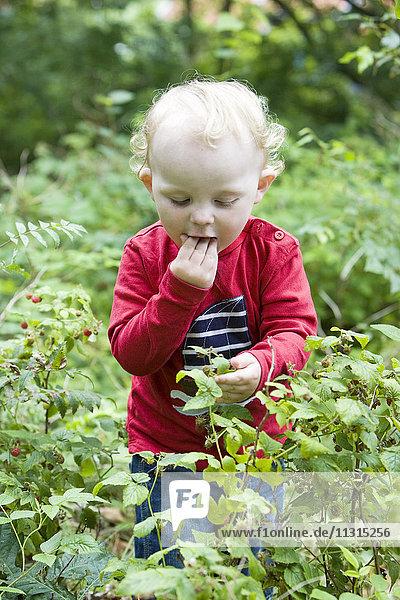 Boy picking raspberrys