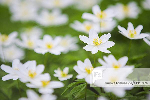 Wood anemones  anemone nemorosa  Switzerland