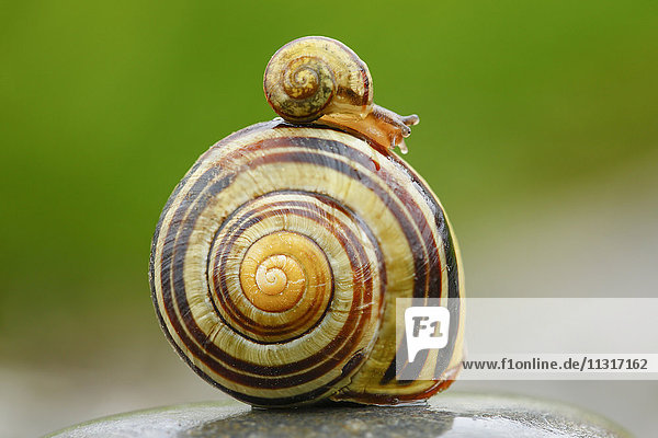 Cepaea sylvatica  banded grove snail