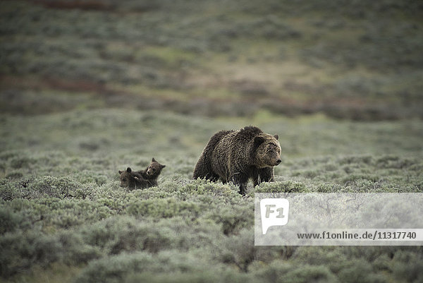 USA  Wyoming  Grand Teton  National Park  Grizzly mom with cubs  (m)