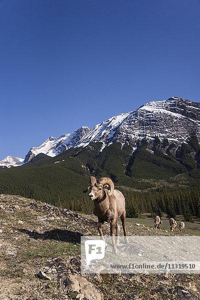 bighorn sheep  ovis canadensis