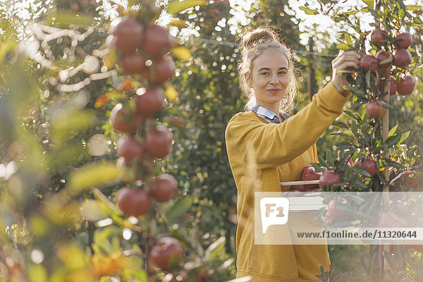 Junge Frau bei der Apfelernte Junge Frau bei der Apfelernte