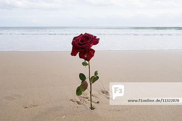 Rote Rose am Strand