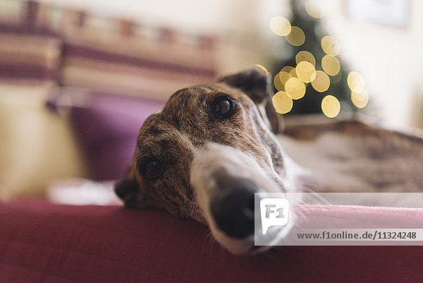 Portrait von Greyhound auf der Couch liegend zur Weihnachtszeit Portrait von Greyhound auf der Couch liegend zur Weihnachtszeit