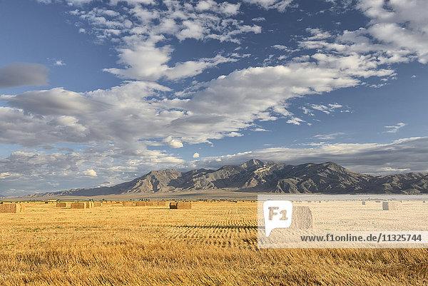 wheat field in Idaho