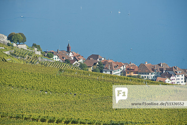 wine cultivation in Rivaz in the canton of Vaud