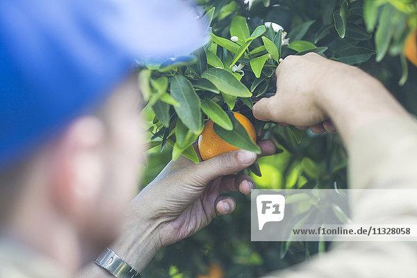 Landarbeiter auf der Plantage beim Pflücken von Orangen