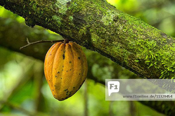 cocoa on tree