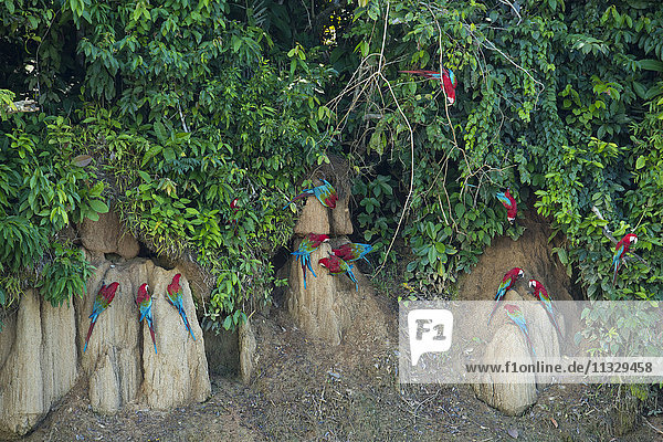 Macaw parrots at clay lick inPeru