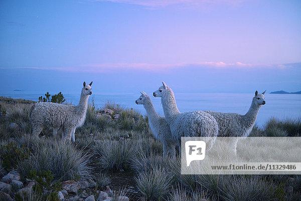 Alpacas on Lake Titicaca  Peru