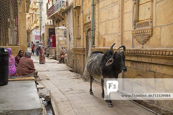 cow in street in Jaisalmer  India
