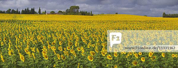 Sunflower field inSwitzerland