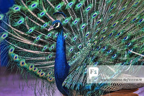indian peafowl  pavo cristatus  bird