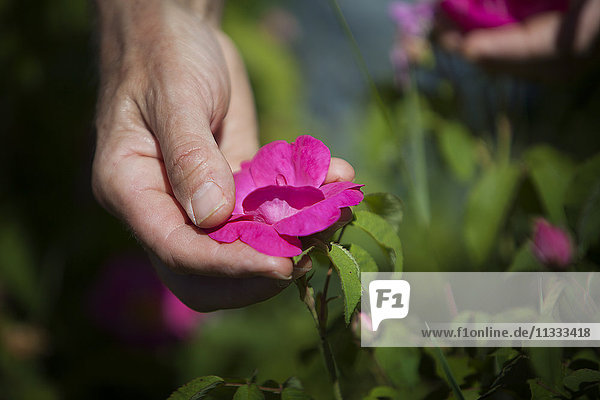 Reportage on herbalists in the Bauges mountain range in Savoie  France. They grow and sell organic aromatic and medicinal plants. Picking Provins rose petals. The Provins rose is known for its medicinal properties: soothing digestive pain  cleans and purifies the skin and soothes the throat.